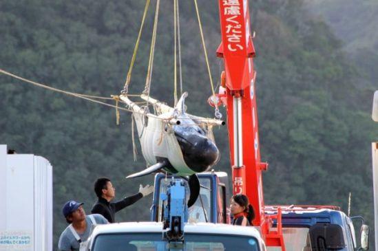pilot-whale-transfer-24310142014_1930-830x553-1